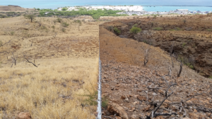 Fences, such as this fenceline installed in the Pelekāne Watershed, keep destructive ungulates from feeding on native plants and groundcover vital to retaining topsoil and mitigating erosion